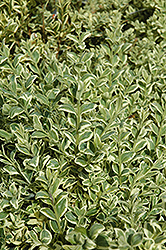 Variegated Boxwood (Buxus sempervirens 'Elegantissima') at Colonial Gardens