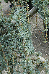 Weeping Blue Atlas Cedar (Cedrus atlantica 'Glauca Pendula') at Colonial Gardens
