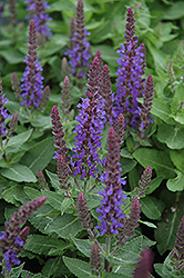 Sensation Deep Blue Sage (Salvia nemorosa 'Sensation Deep Blue') at Colonial Gardens