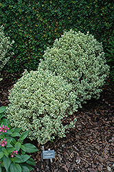 Variegated Boxwood (Buxus sempervirens 'Variegata') at Colonial Gardens