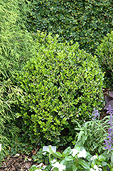 Winter Gem Boxwood (Buxus microphylla 'Winter Gem') at Colonial Gardens