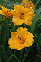 Chicago Sunrise Daylily (Hemerocallis 'Chicago Sunrise') at Colonial Gardens