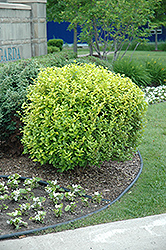 Golden Vicary (Privet) (Ligustrum x vicaryi) at Colonial Gardens