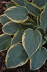 First Frost Hosta (Hosta 'First Frost') at Colonial Gardens