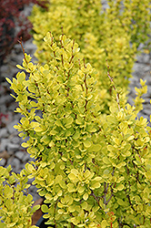 Sunjoy Gold Pillar® Japanese Barberry (Berberis thunbergii 'Maria') at Colonial Gardens