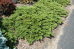 Mini Arcade Juniper (Juniperus sabina 'Mini-Arcade') at Colonial Gardens
