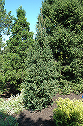 Columnar Norway Spruce (Picea abies 'Cupressina') at Colonial Gardens