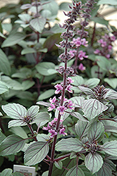 African Blue Basil (Ocimum 'African Blue') at Colonial Gardens