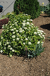 Blue Muffin® Viburnum (Viburnum dentatum 'Christom') at Colonial Gardens