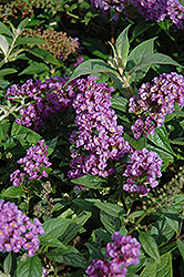 Lo And Behold® Purple Haze Dwarf Butterfly Bush (Buddleia 'Lo And Behold Purple Haze') at Colonial Gardens