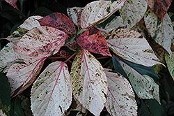 Jacob's Coat (Acalypha wilkesiana) at Colonial Gardens