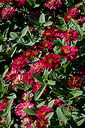 Profusion Double Cherry Zinnia (Zinnia 'Profusion Double Cherry') at Colonial Gardens