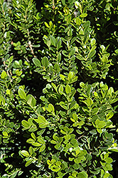 Baby Gem™ Boxwood (Buxus microphylla 'Gregem') at Colonial Gardens