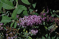 Lo And Behold® Lilac Chip Dwarf Butterfly Bush (Buddleia 'Lo And Behold Lilac Chip') at Colonial Gardens