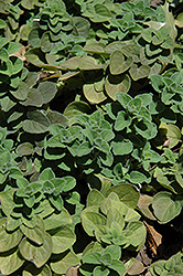 Hot And Spicy Oregano (Origanum 'Hot And Spicy') at Colonial Gardens