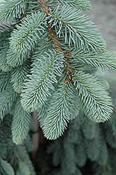 The Blues Colorado Blue Spruce (Picea pungens 'The Blues') at Colonial Gardens