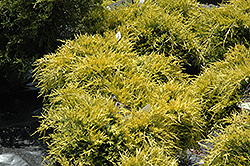 Sea Of Gold Juniper (Juniperus x media 'Sea Of Gold') at Colonial Gardens