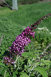 Buzz Pink Purple Butterfly Bush (Buddleia 'Buzz Pink Purple') at Colonial Gardens