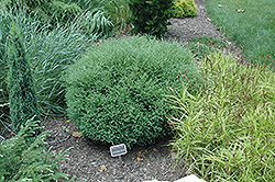 Mr. Bowling Ball Arborvitae (Thuja occidentalis 'Bobazam') at Colonial Gardens