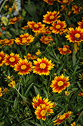 Lil' Bang™ Daybreak Tickseed (Coreopsis 'Daybreak') at Colonial Gardens