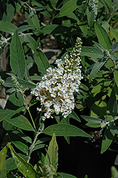 White Feather Butterfly Bush (Buddleia davidii 'White Feather') at Colonial Gardens