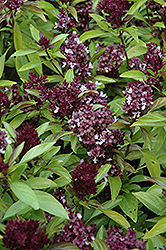 Siam Queen Basil (Ocimum basilicum 'Siam Queen') at Colonial Gardens