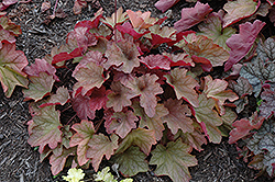 Carnival Watermelon Coral Bells (Heuchera 'Watermelon') at Colonial Gardens