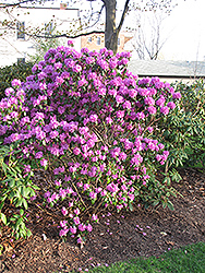 P.J.M. Regal Rhododendron (Rhododendron 'P.J.M. Regal') at Colonial Gardens