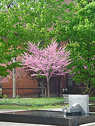 Eastern Redbud (tree form) (Cercis canadensis '(tree form)') at Colonial Gardens