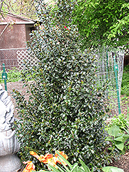 Blue Maid Meserve Holly (Ilex x meserveae 'Mesid') at Colonial Gardens