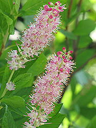 Ruby Spice Summersweet (Clethra alnifolia 'Ruby Spice') at Colonial Gardens