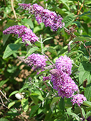 Niche's Choice Butterfly Bush (Buddleia davidii 'Niche's Choice') at Colonial Gardens