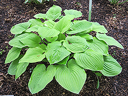 August Moon Hosta (Hosta 'August Moon') at Colonial Gardens