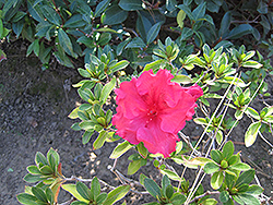 Bloom-A-Thon® Red Azalea (Rhododendron 'RLH1-1P2') at Colonial Gardens