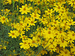 Zagreb Tickseed (Coreopsis verticillata 'Zagreb') at Colonial Gardens