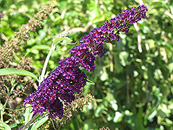 Black Knight Butterfly Bush (Buddleia davidii 'Black Knight') at Colonial Gardens