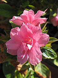Encore® Autumn Empress™ Azalea (Rhododendron 'Conles') at Colonial Gardens