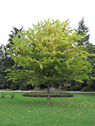 Common Hackberry (Celtis occidentalis) at Colonial Gardens