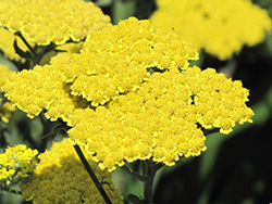 Moonshine Yarrow (Achillea 'Moonshine') at Colonial Gardens