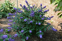 Lo And Behold® Blue Chip Dwarf Butterfly Bush (Buddleia 'Lo And Behold Blue Chip') at Colonial Gardens