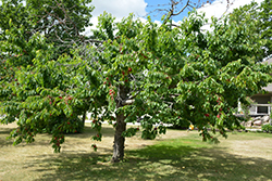 Bing Cherry (Prunus avium 'Bing') at Colonial Gardens