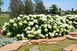 Incrediball® Hydrangea (Hydrangea arborescens 'Abetwo') at Colonial Gardens