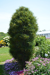 Fine Line® Buckthorn (Rhamnus frangula 'Ron Williams') at Colonial Gardens