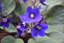 Hybrid Blue African Violet (Saintpaulia 'Hybrid Blue') at Colonial Gardens