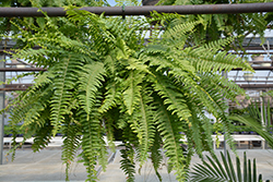Boston Fern (Nephrolepis exaltata) at Colonial Gardens