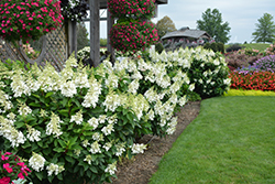 Fire Light® Hydrangea (Hydrangea paniculata 'SMHPFL') at Colonial Gardens