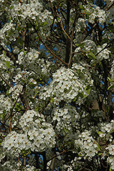 Chanticleer Ornamental Pear (Pyrus calleryana 'Chanticleer') at Colonial Gardens