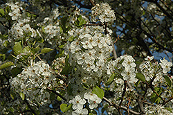 Cleveland Select Ornamental Pear (Pyrus calleryana 'Cleveland Select') at Colonial Gardens