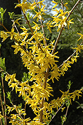Meadowlark Forsythia (Forsythia 'Meadowlark') at Colonial Gardens
