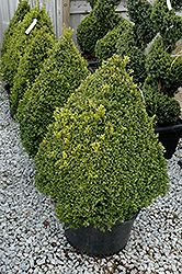Green Mountain Boxwood (pyramid form) (Buxus 'Green Mountain (pyramid)') at Colonial Gardens